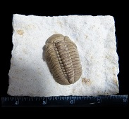 Bob Carroll Black Cat Mountain Reedops trilobite